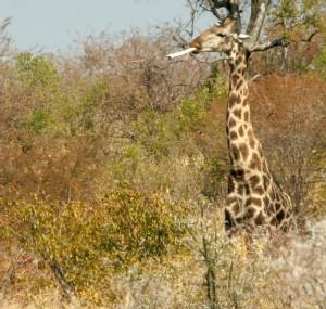A giraffe smoking a pipe?