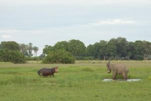 Hippo threatens an elephant