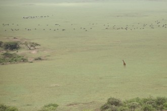Giraffe and Maasai cattle