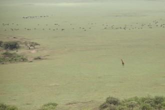 Giraffe and Maasai cattle