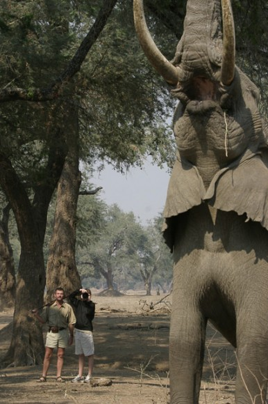 Dave and guest with bull elephant at Mana Pools