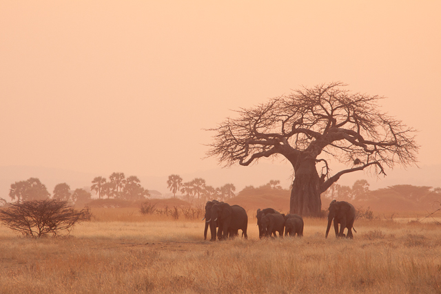 Elephants and a baobab tree