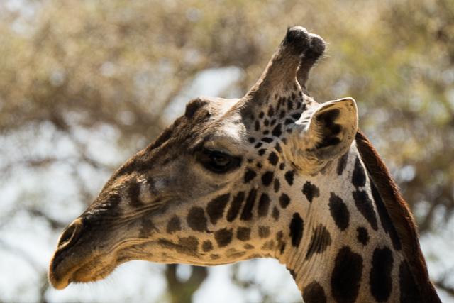 Masai giraffe head