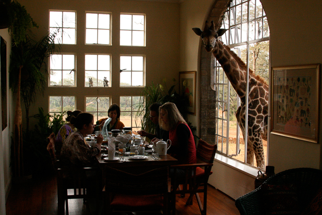 Rothschild's giraffe at Giraffe Manor in Nairobi