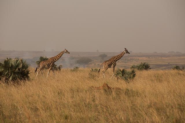 Rothschild's giraffe (Now Nubian) in Murchison's Falls NP Uganda