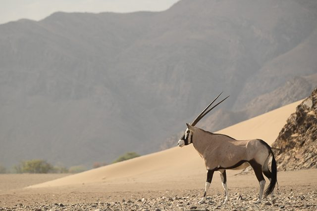 An oryx or gemsbok