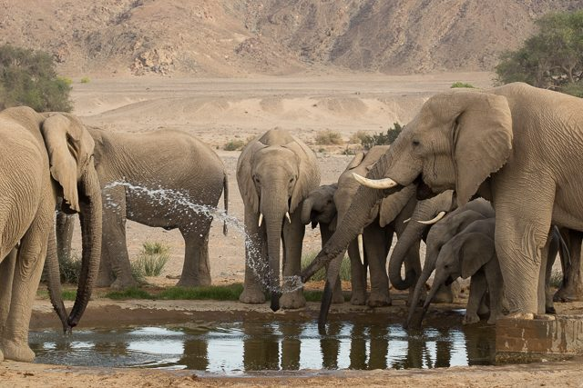 desert elephants at the waterhole