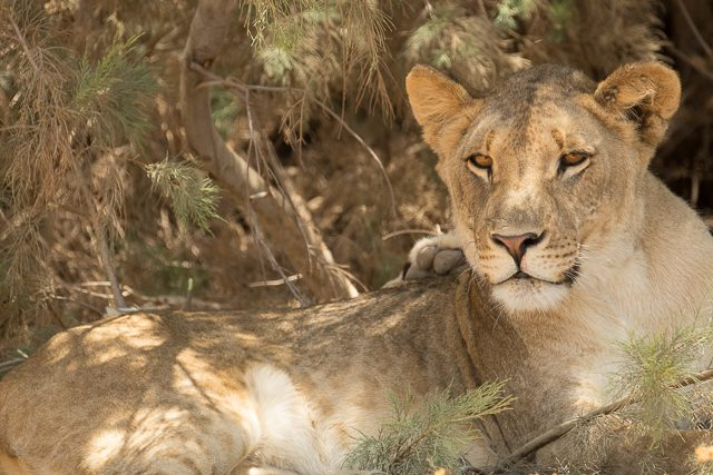 lioness in the shade of a tamarisk bush