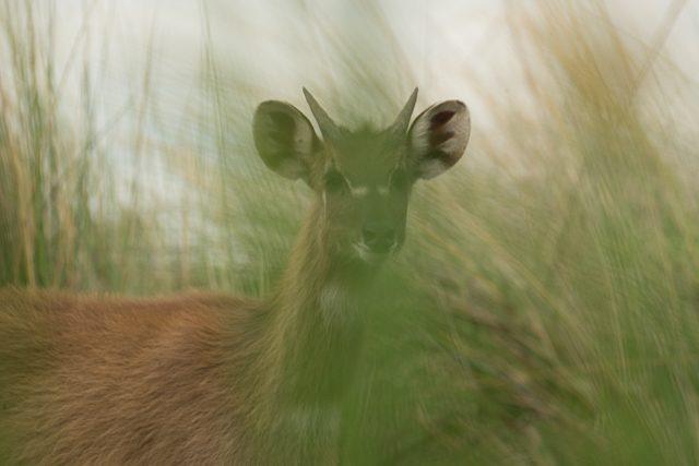 sitatunga through the reeds