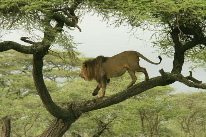 Big male lion in a tree