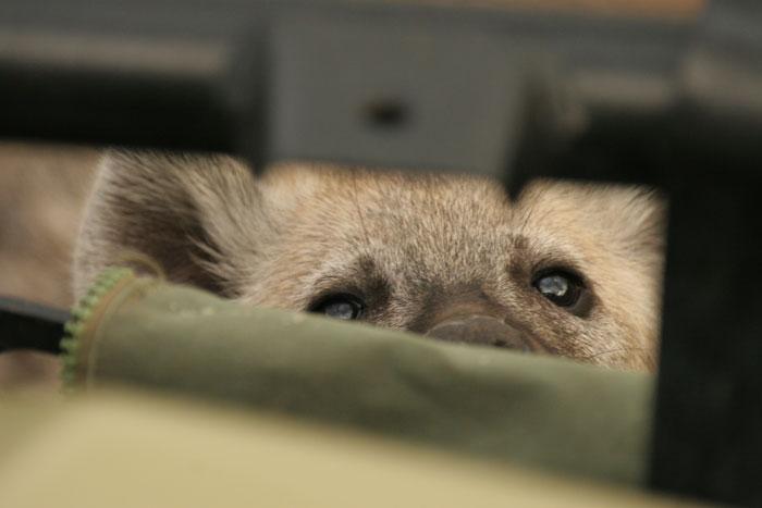 Juvenile spotted hyaena peering through the bull bar