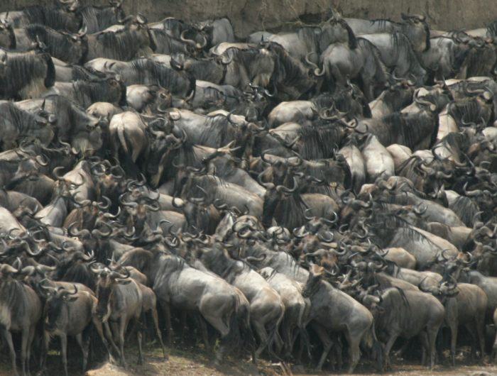 wildebeest129