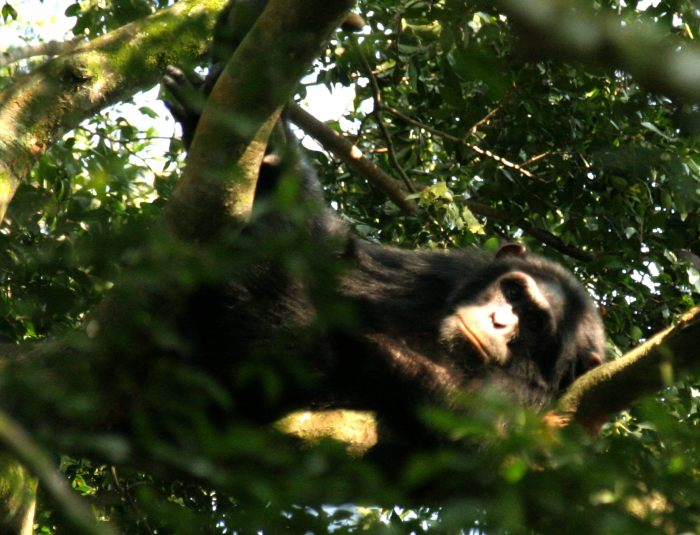 Life for a chimpanzee in Uganda