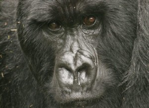 the silverback up close
