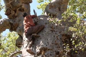Hadzabe man climbing a Baobab tree to get honey