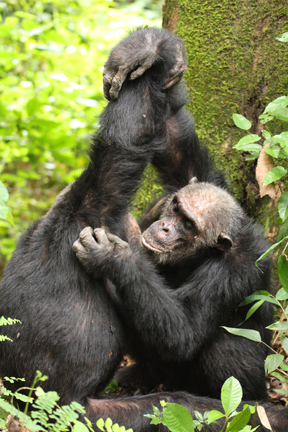 chimps-grooming-holding-arms-up