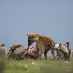 Hyaena at a kill