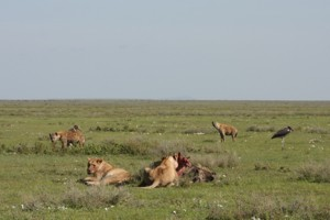 hyaenas-trying-to-intimidate-lioness-off-her-kill1