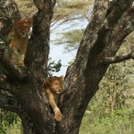 Lion Cubs Playing In A Tree