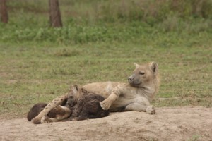 Hyaena Mother And Cubs