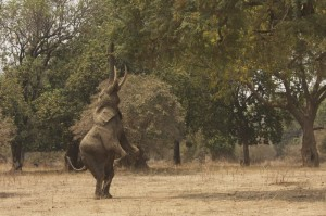 Elephant bull standing on his back legs to reach high branches.