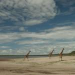 Giraffes and cloud formations over Lake Ndutu