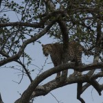 Leopard in a tree