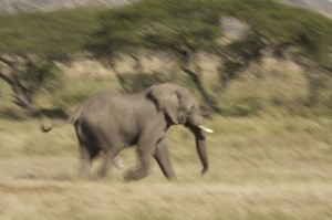 Elelphant bull chasing a cow