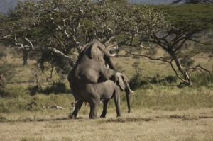 Elephants mating near Moru Kopjes
