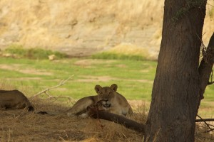 A lioness starts as we arrive on the banks of the Ruaha River