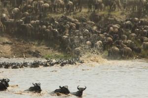 Wildebeest herds crossing the Mara River