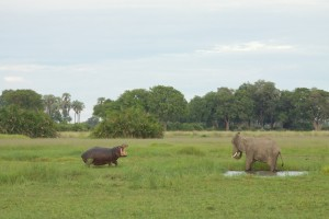 Hippo threatens an elephant