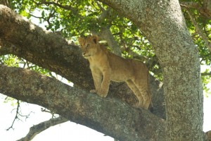 Lion cub in a tree looking out for an approaching elephant