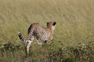 Young cheetah begins to stalk