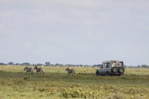 Driving through herds