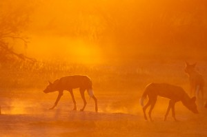 Wild Dogs at dusk