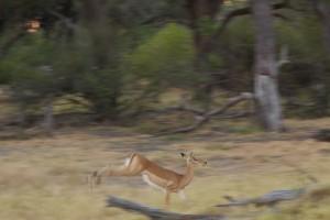 Impala escaping