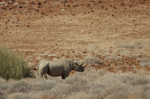 Desert rhino mother
