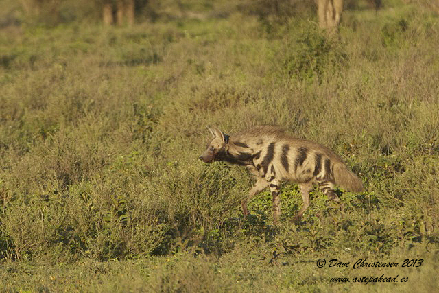 Rare Daytime Encounter with A Striped Hyaena.