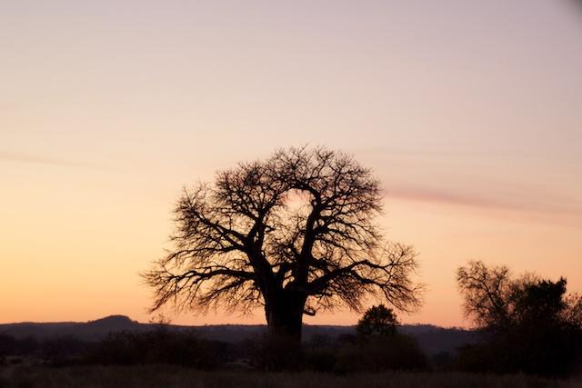 lone baobab