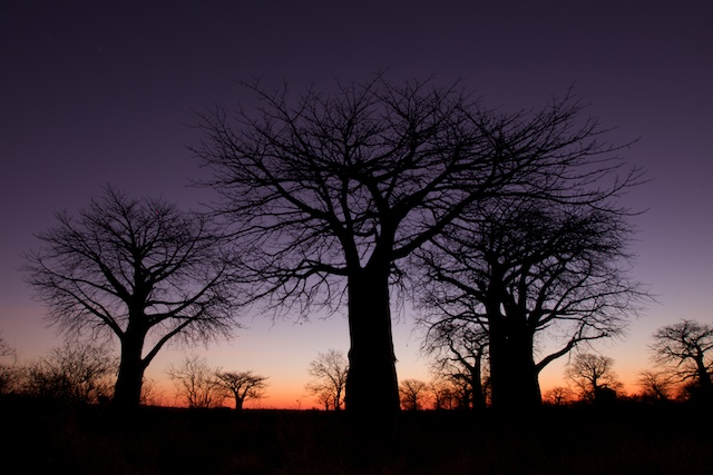 baobabs at dawn