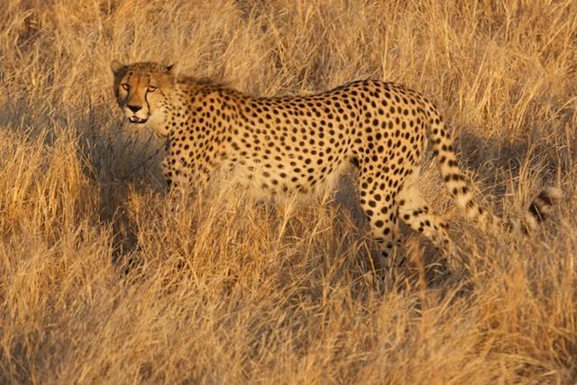 cheetah at dawn in Ruaha