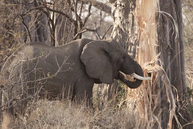 elephant strips baobab of bark