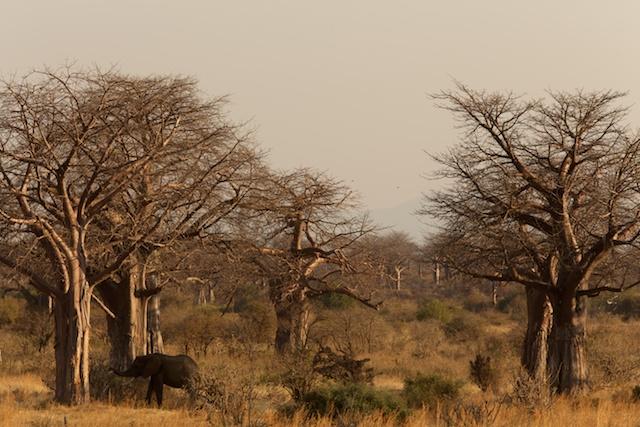 elephant and baobab
