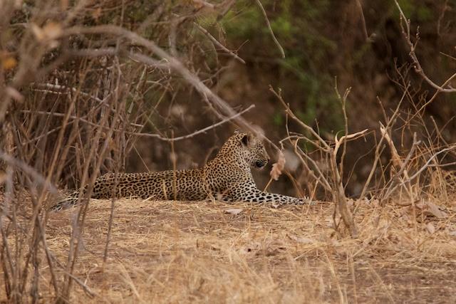 relaxing leopard