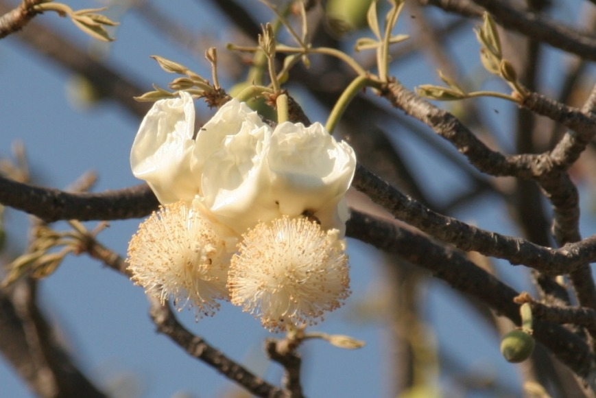 boabab flowers