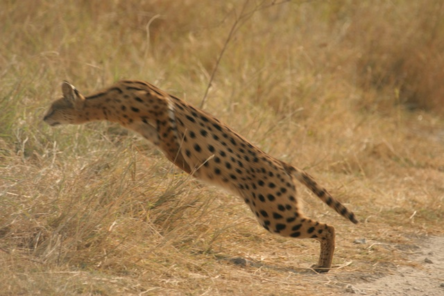 Serval leaps after prey