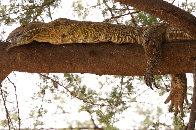 Water monitor lizard having a rest