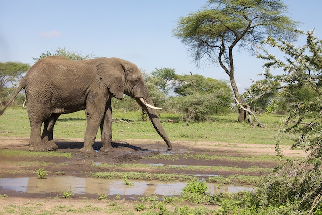 A bull elephant's mud bath