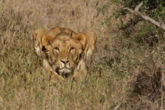 Lion in Laikipia
